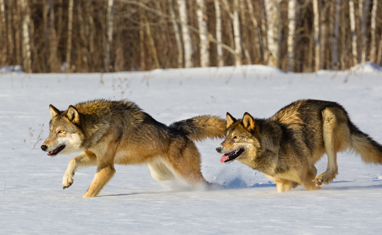 Волков бояться – в лес не ходить?